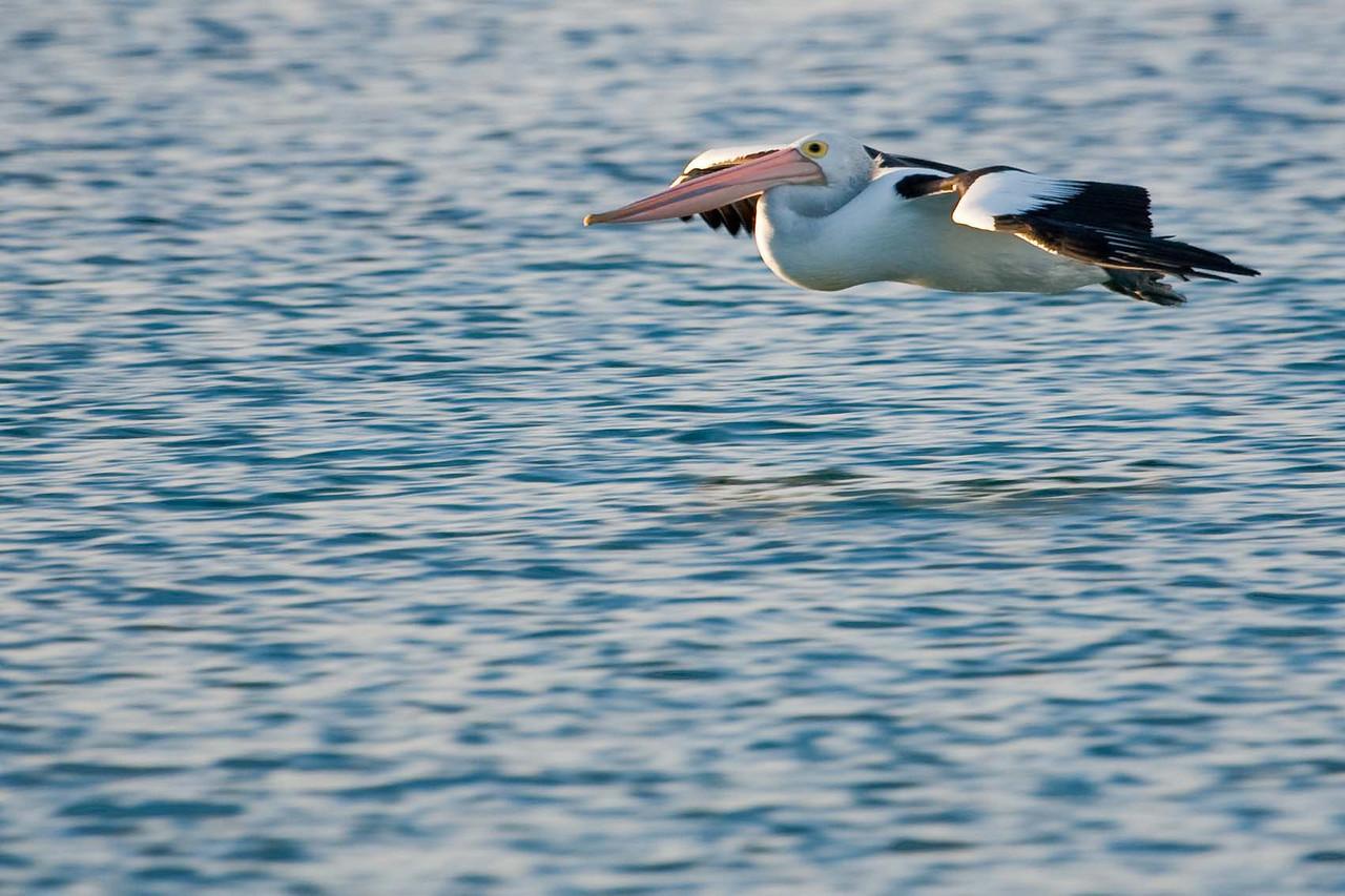 Australian pelican skimming the water
