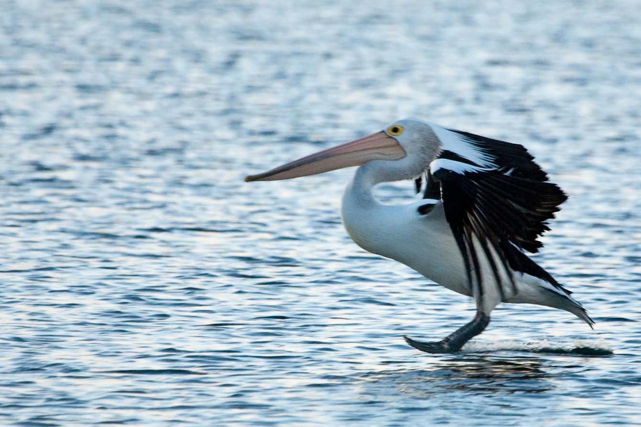 Australian pelican putting down the landing gear