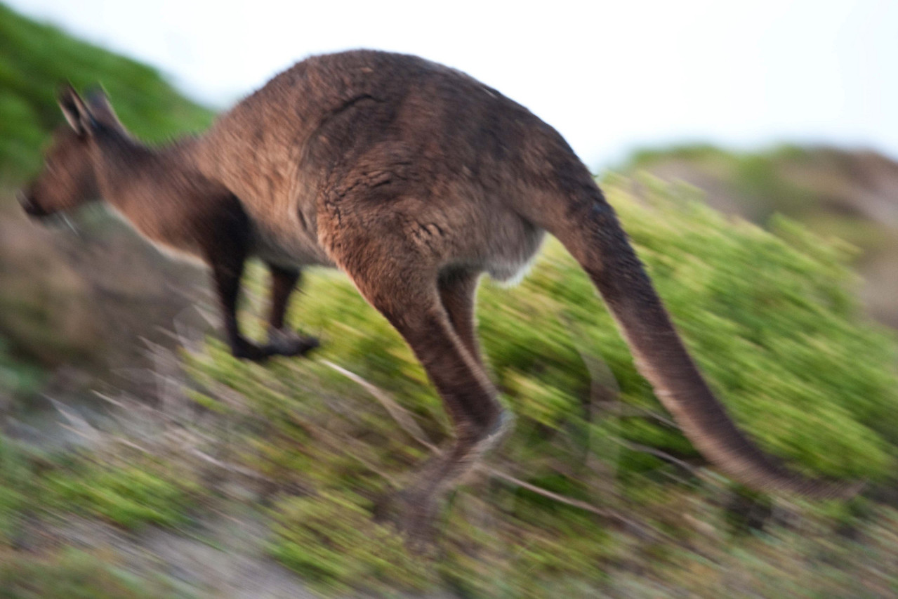 This 'roo' wasn't waiting for anyone