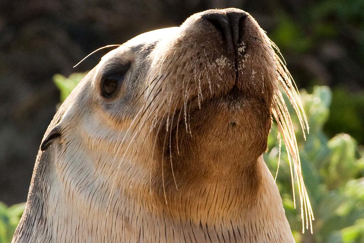 A face you've got to love! -- Seal Bay in Kangaroo Island