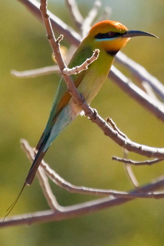 Bee eater at Cockatoo Lagoon