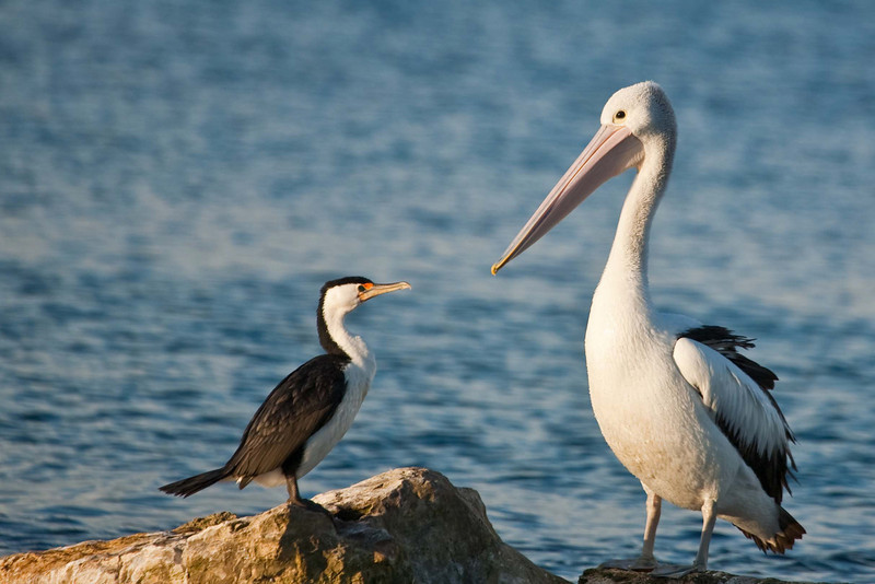 Cormorant and Australian pelican at Emu Bay