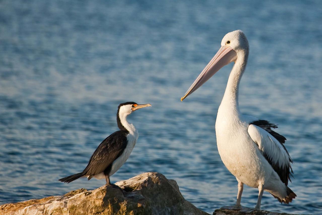 Cormorant and Australian pelican at Emu Bay