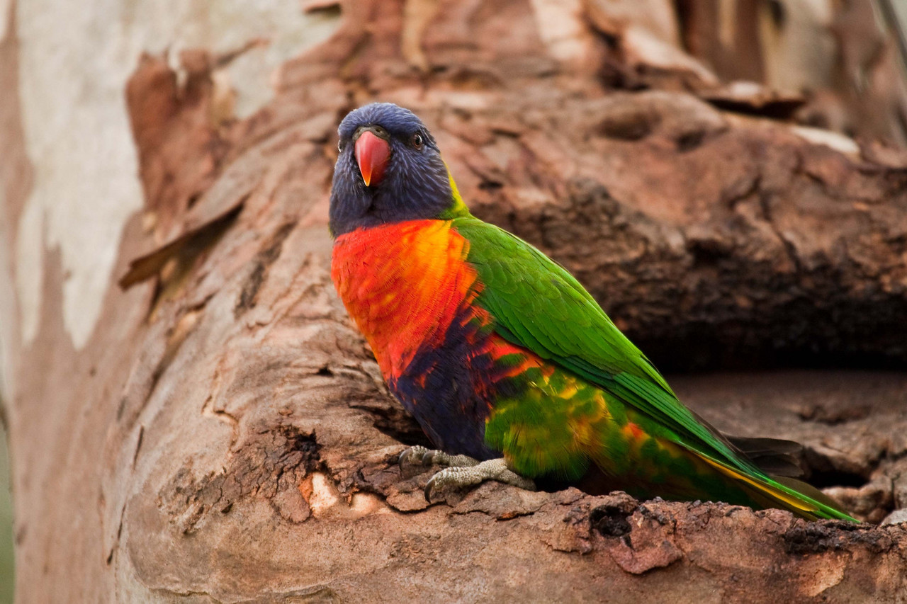 Colorful Lorikeet on the porch of its treehouse