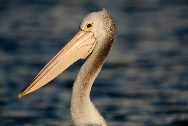 The coiffured Australian pelican