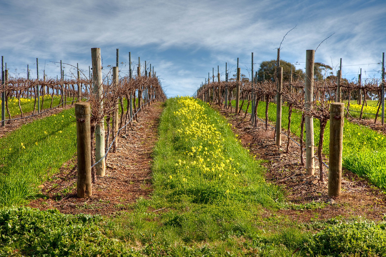 Winter in the Barossa vineyards