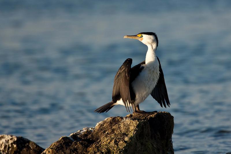Cormorant sunbathing