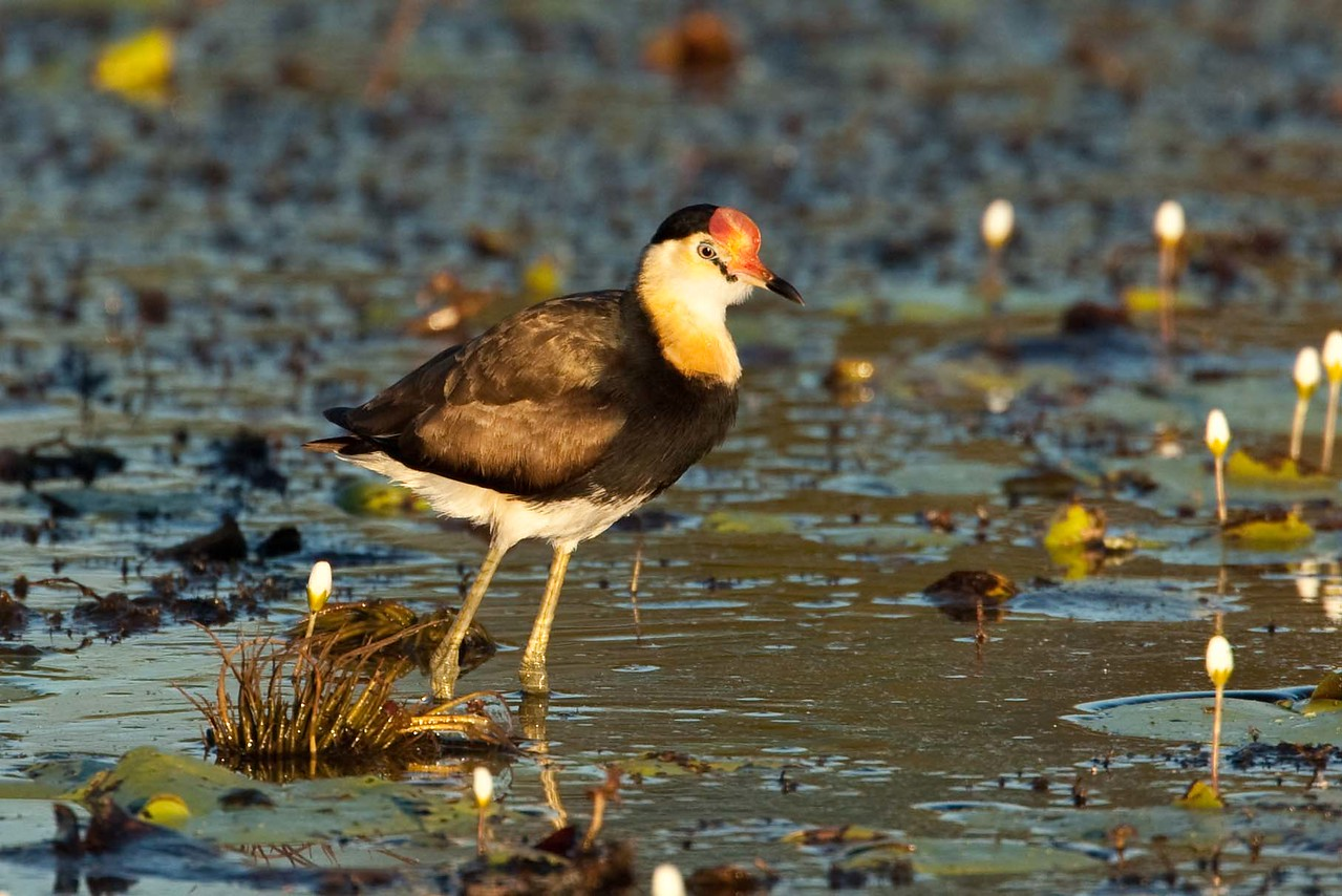 Jacanas gracefully moving in a lilly pond