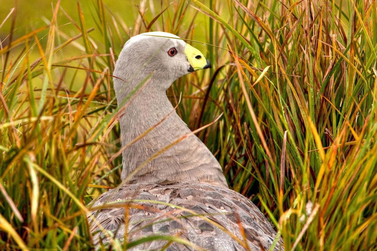 Cape Barron goose in Flinders Chase National Park, Kangaroo Island