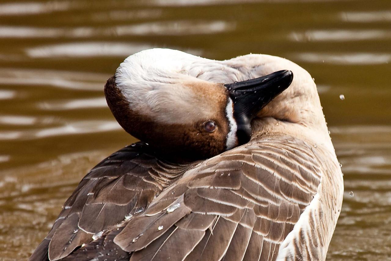 Duck at Pandana Wildlife Park on Kangaroo Island