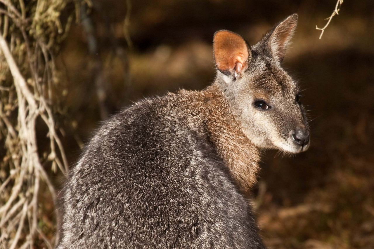 A small roo asking to have his photo taken