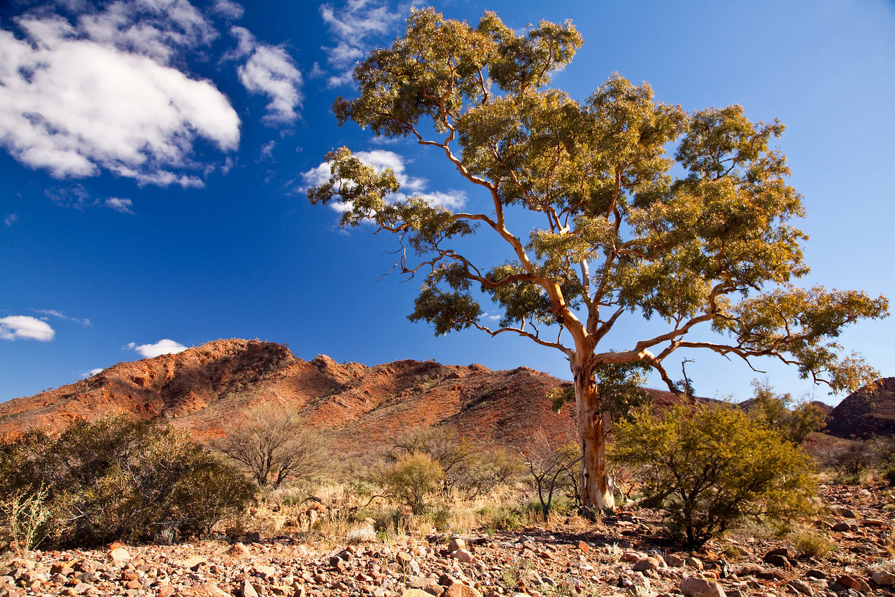 Eucalyptus tree in Arkaroola