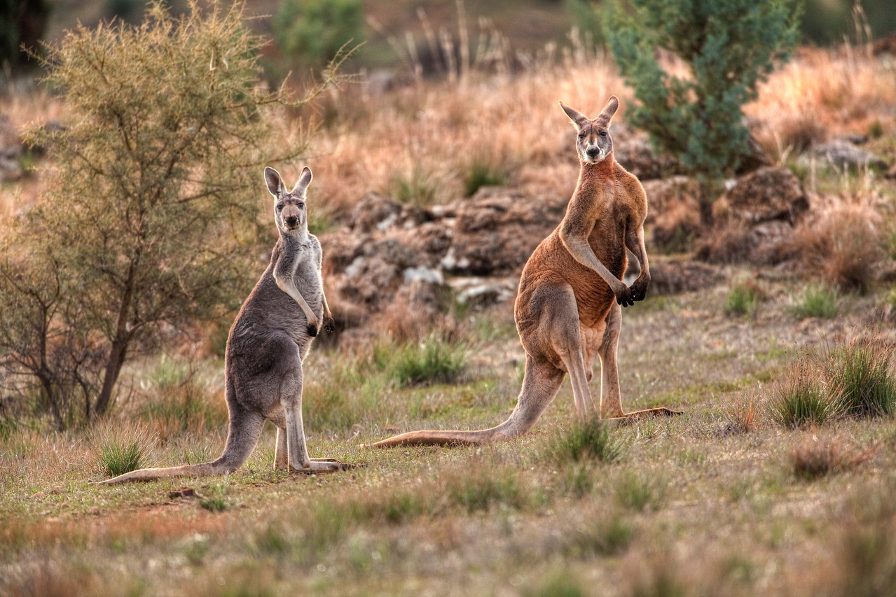 Big and curious kangaroos