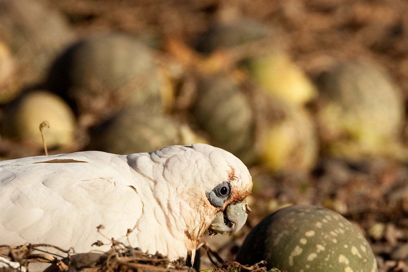 Corellas preparing to feast on paddy melon
