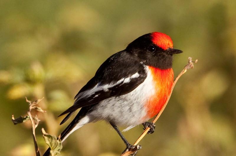 Australian redcapped robin