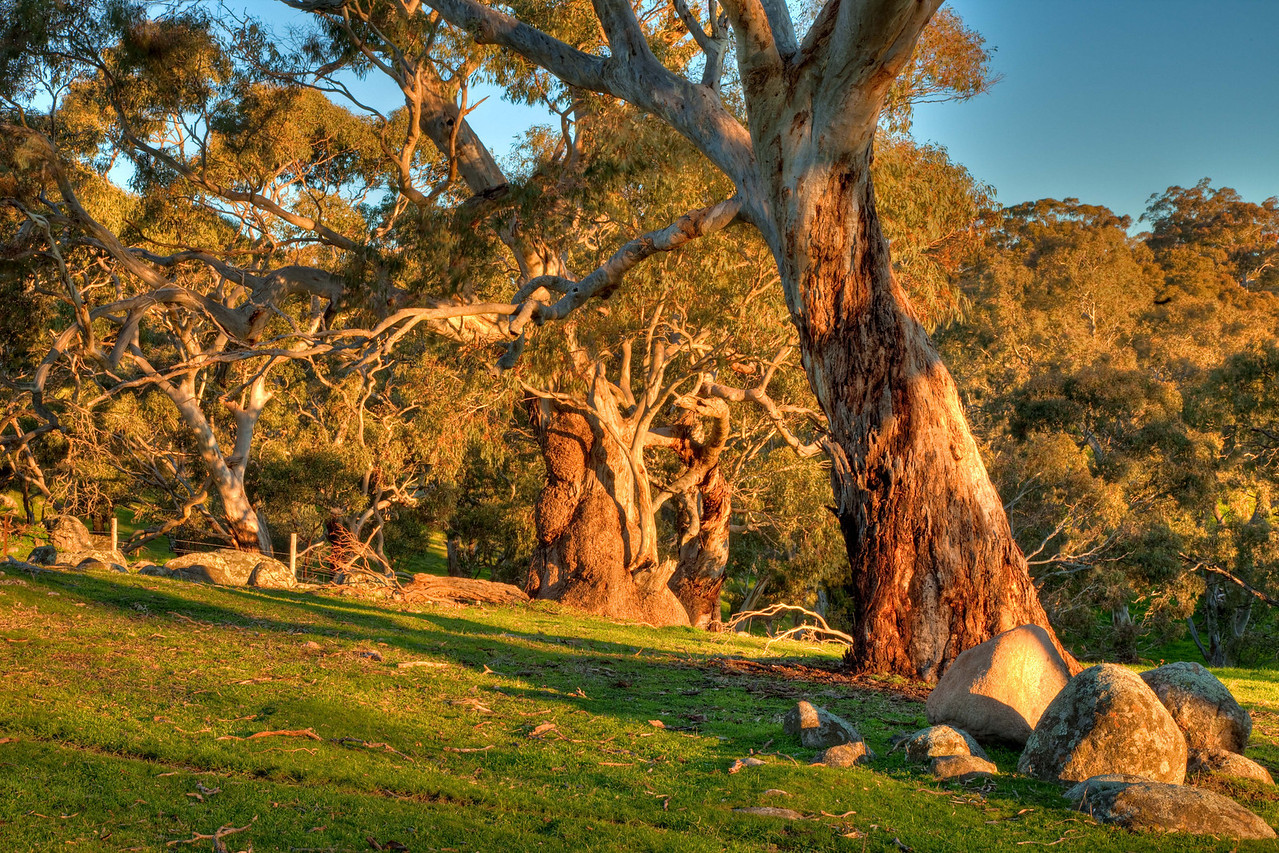 Eucalyptus trees in the Barossa Valley, South Australia