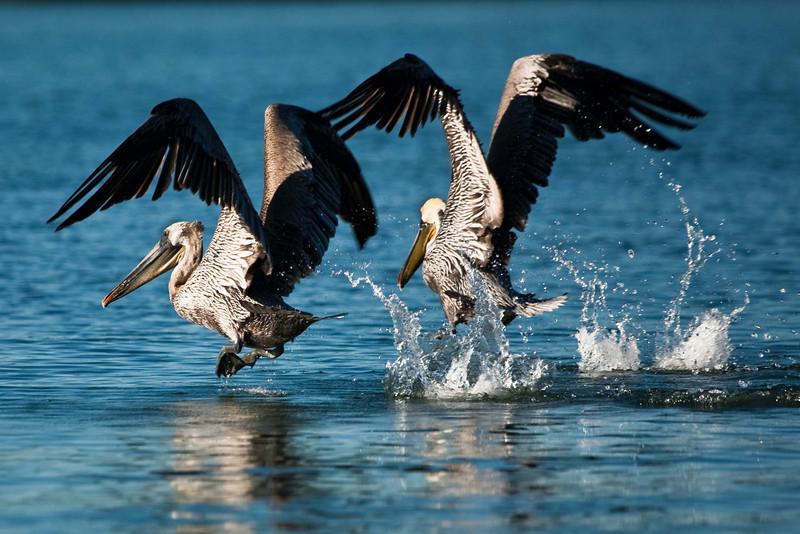 Dancing pelicans