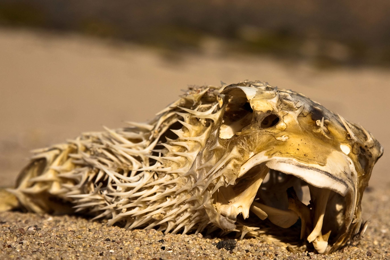 Remains of a porcupinefish