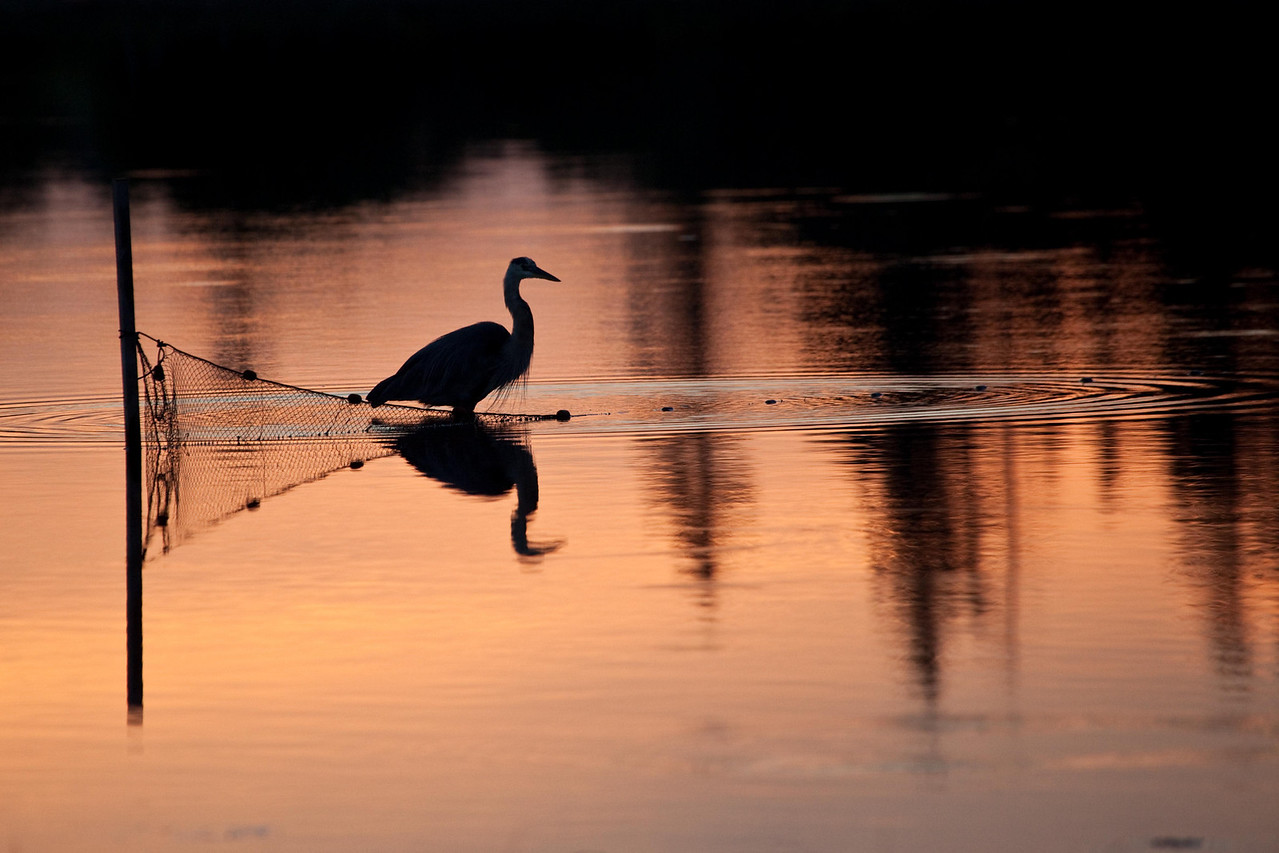 Great blue heron fishing at twilight