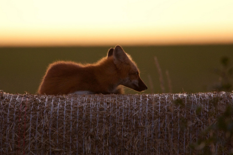 Fox on  large bail of hay. We were photographing near here the day before and a local told us that this fox sits on this bail each morning at sunrise. Sure enough, the next morning here he sat.