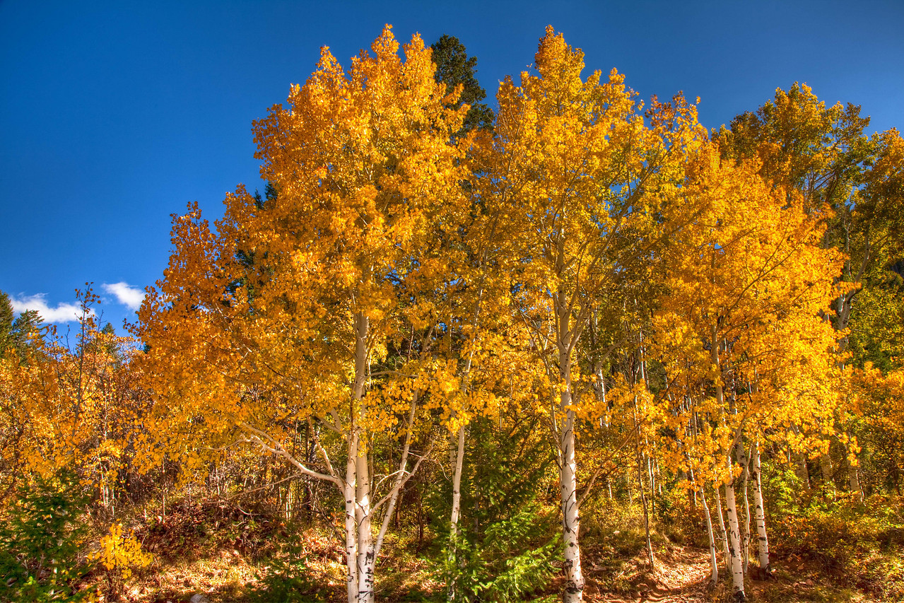 Beautiful Aspens on a clear day near Moab.