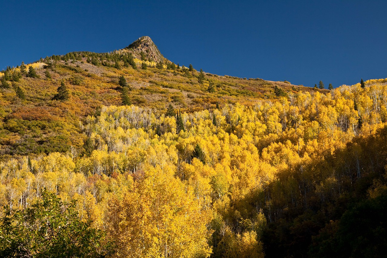 A hillside of Aspens on the Loop Road near Moab