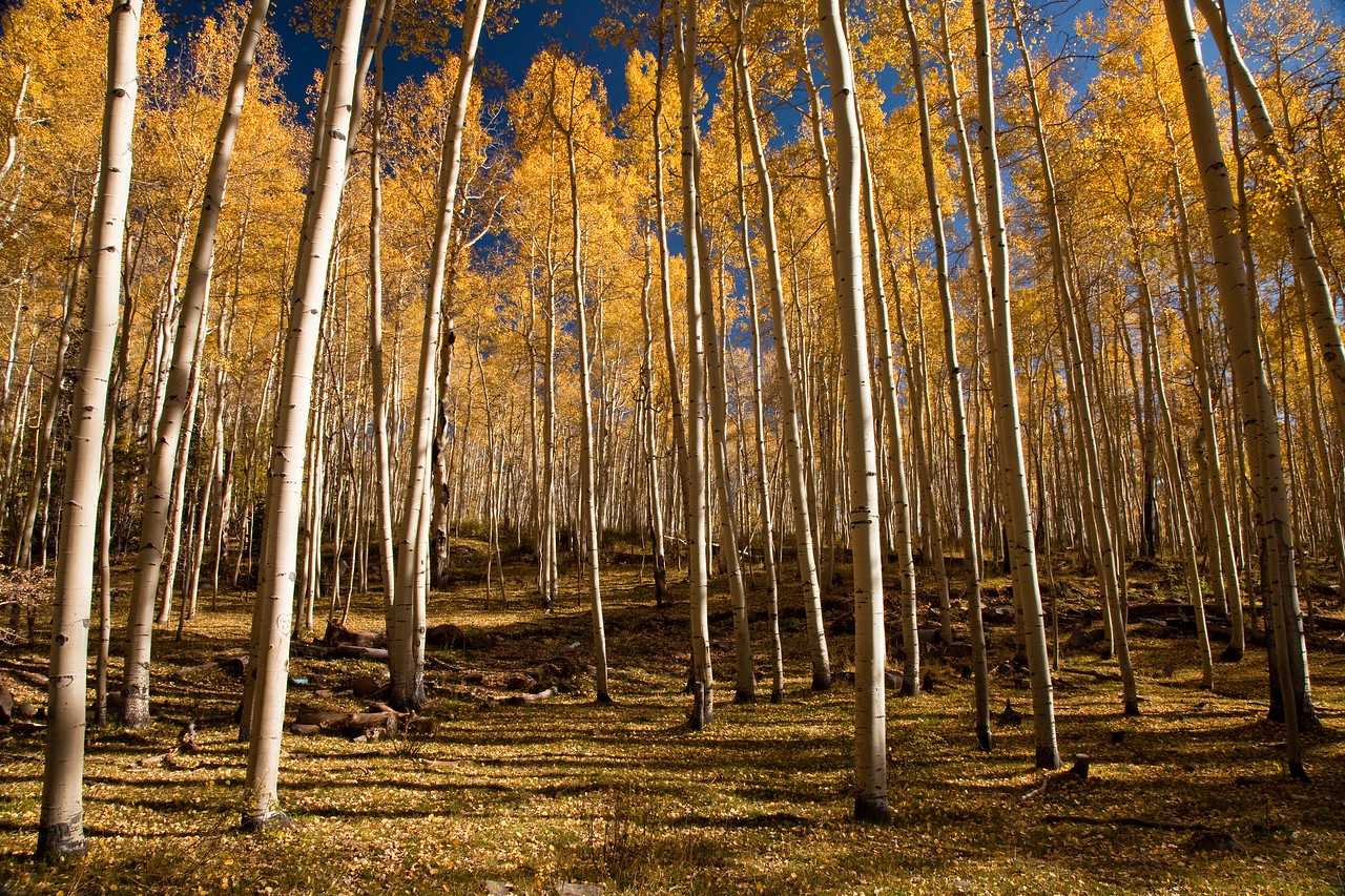Forest of Aspens in the La Sal mountains east of Moab