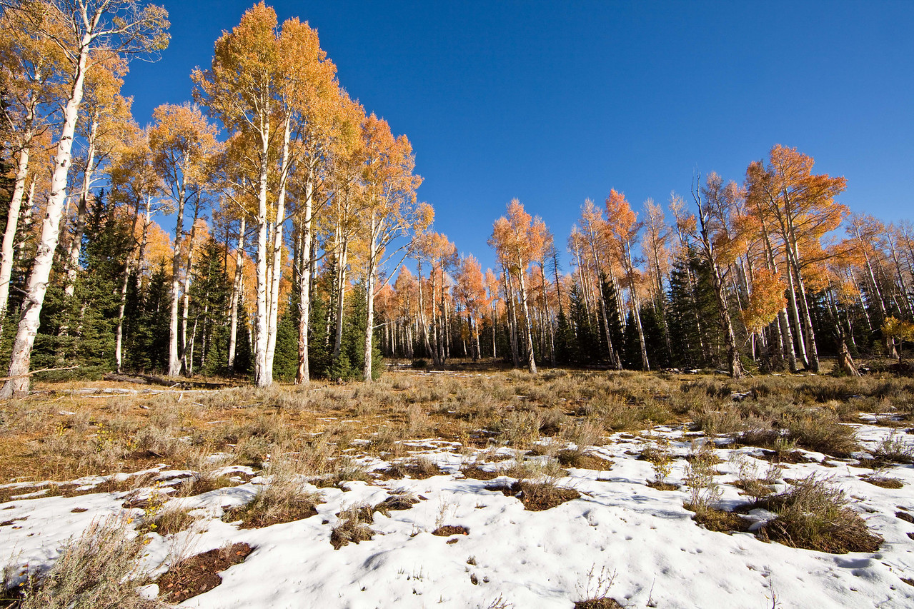 Aspens near Cedar Breaks National Monument