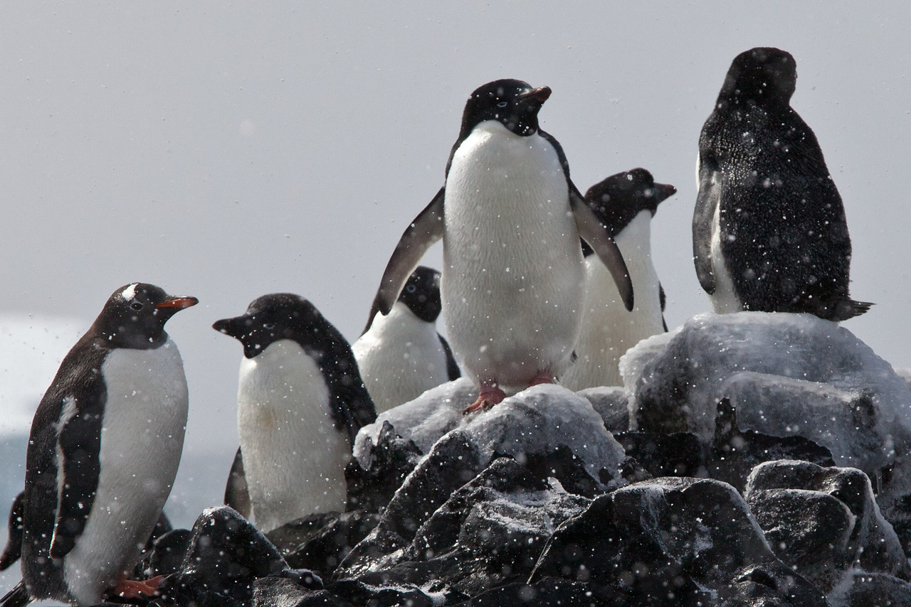 These Adelie penguins sitting on frozen rocks were joined by a Gentoo penguin on the left.