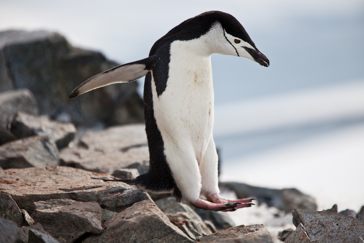 We were in awe of the rock-hopping ability of the penguins we observed.