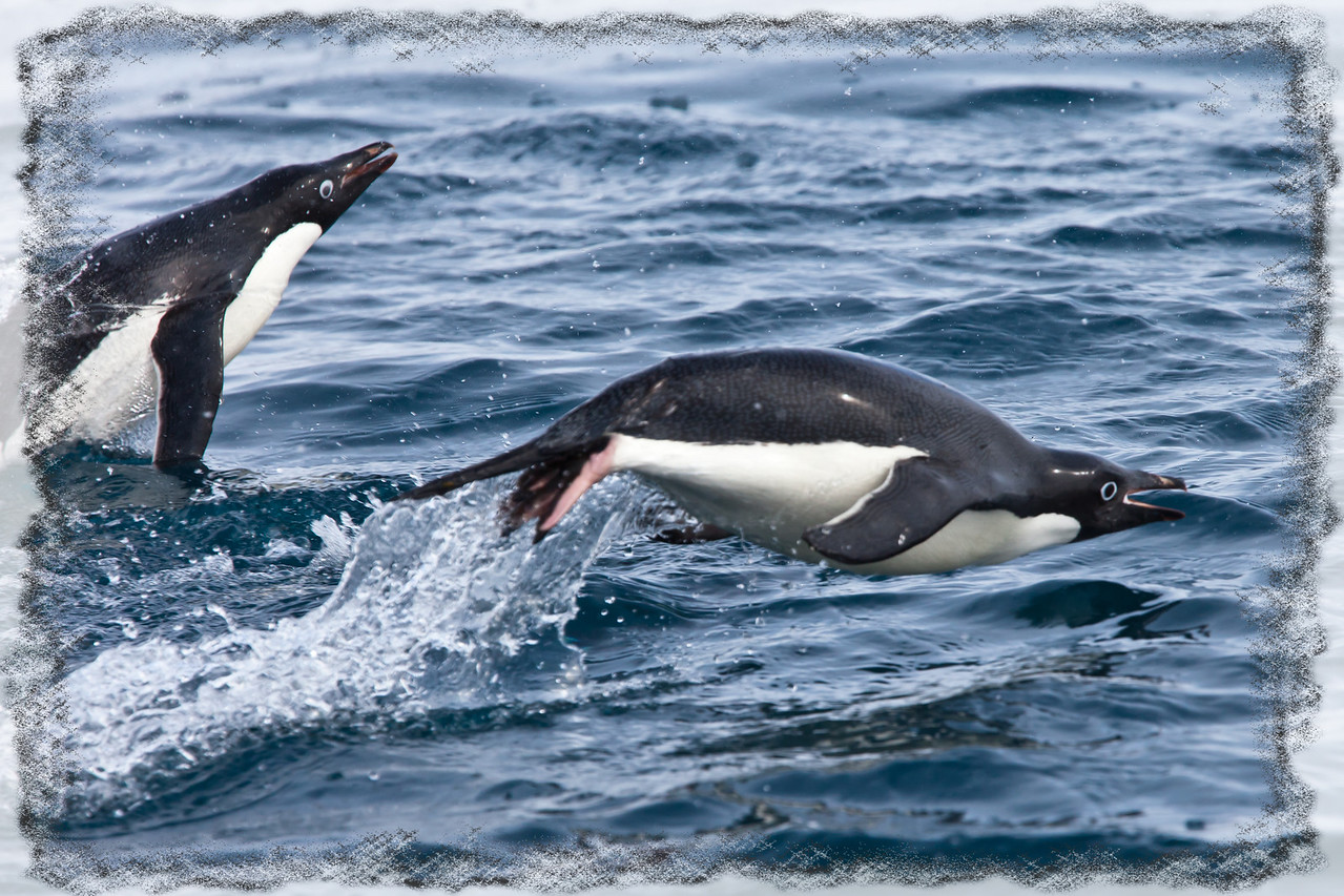 They porpoise to breathe without slowing down traveling up to speeds of 30-40 mph in the water.
