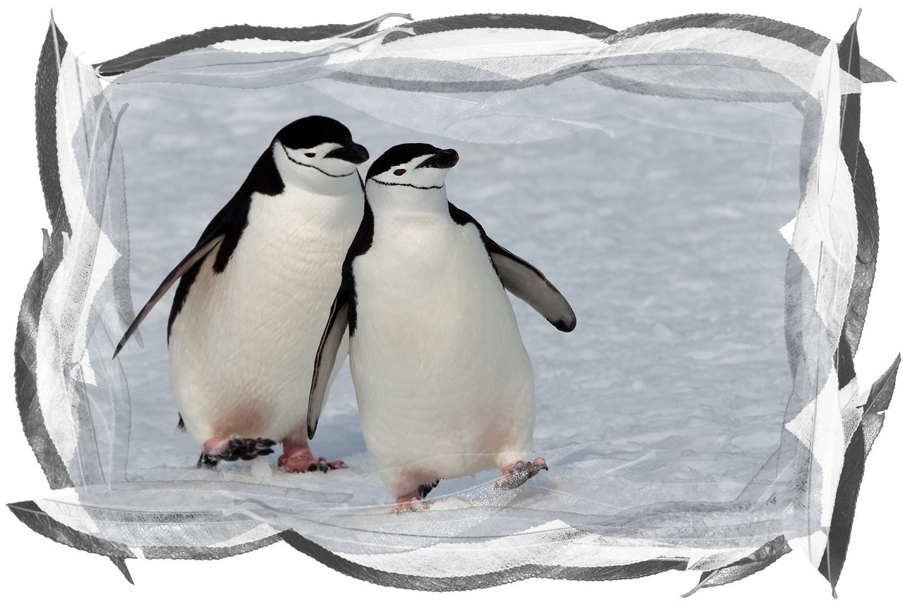 Chinstrap penguins are most people's favorite type of penguin; they're always smiling.