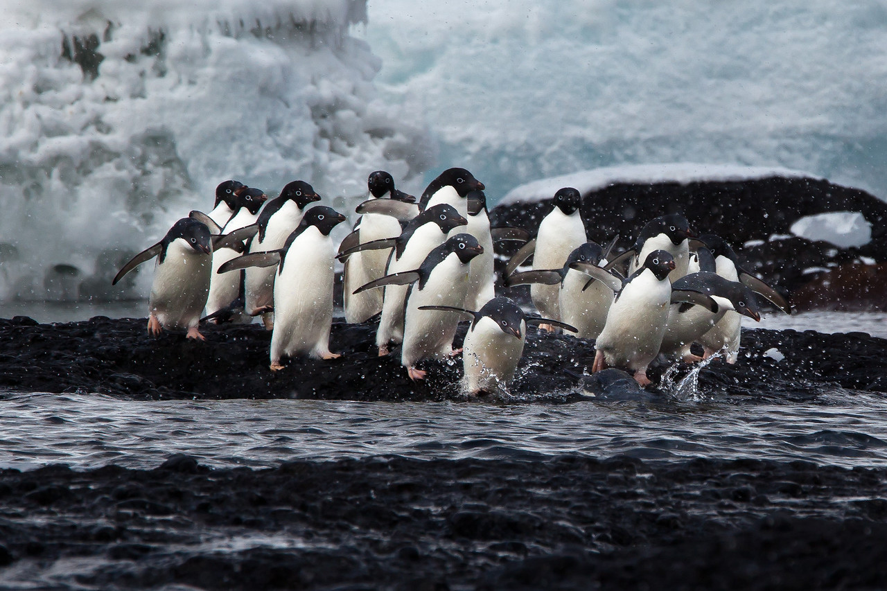 Our first stop was blustery Brown Bluff where we saw these Adelie penguins dashing for the sea.
