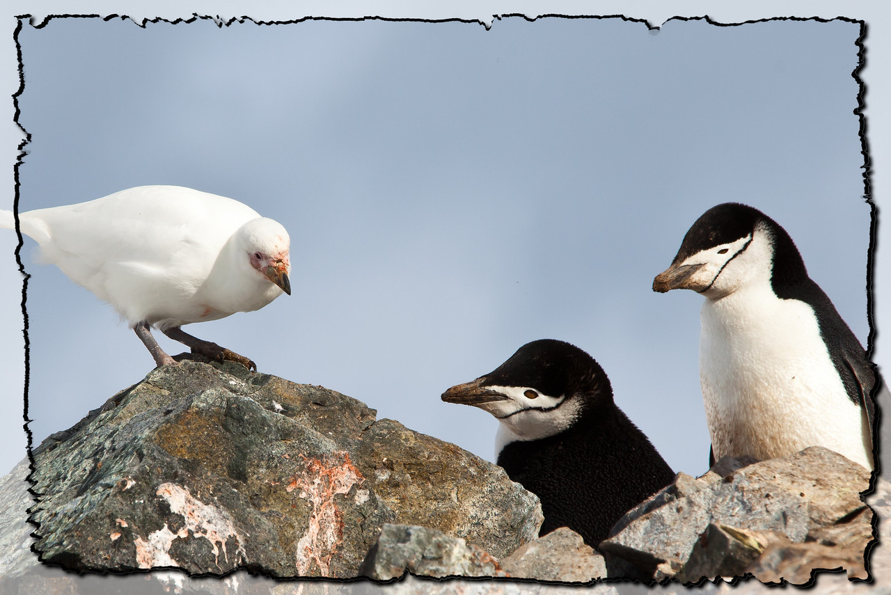 A snowy sheathbill and chinstrap penguins having a discussion.