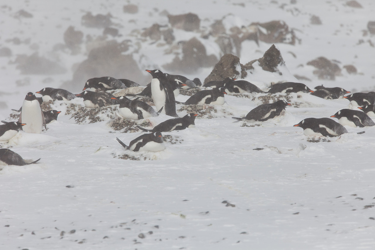 Gentoo penguins are sitting on nests keeping their eggs warm during a snow storm.