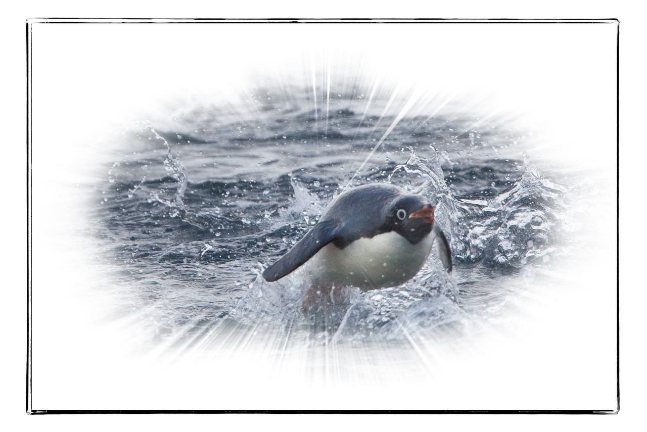 This porpoising Adelie penguin just about jumped into our Zodiac.