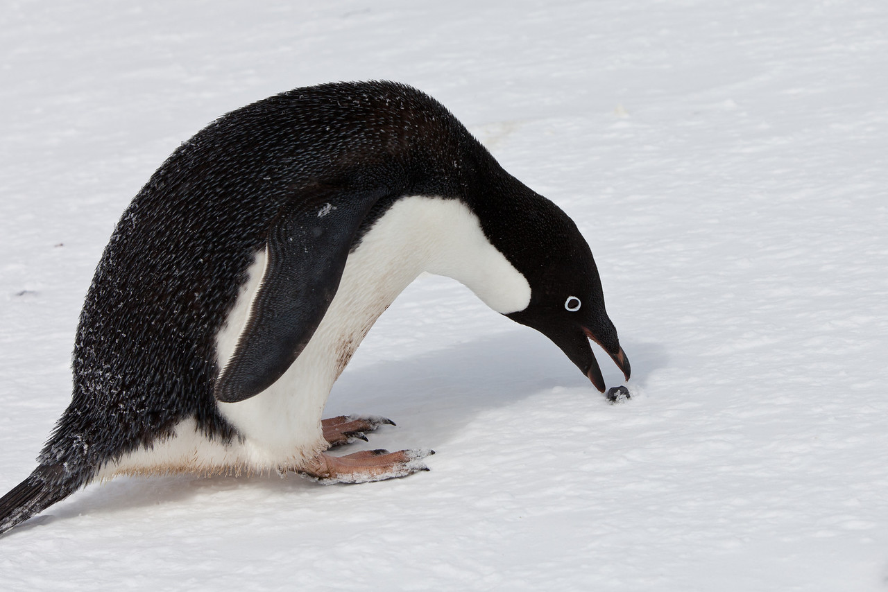 There is not much material for building nests in Antarctica other than rocks. Penguins spend a lot of time finding rocks.
