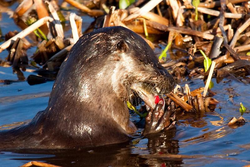 Otter devouring fish at Woodruff Wildlife Refuge