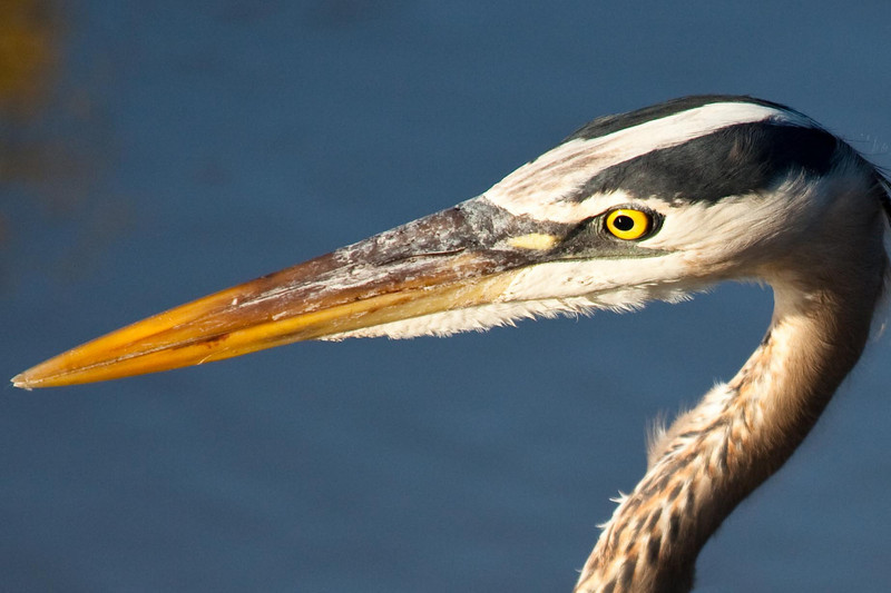 Eye to eye with a great blue heron