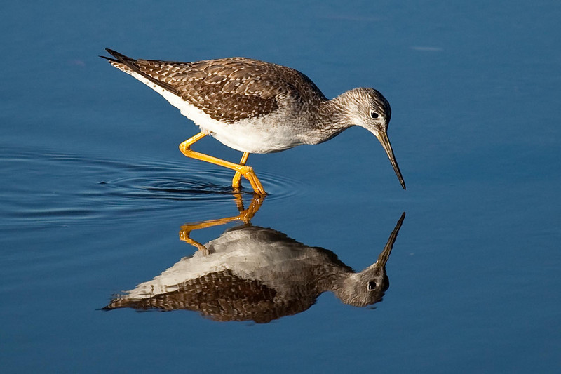 Greater yellowlegs reflection, Merritt Island Wildlife Refuge