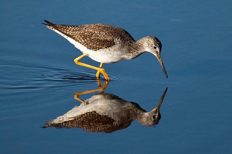 Greater yellowlegs reflection, Merritt Island Wildlife Refuge