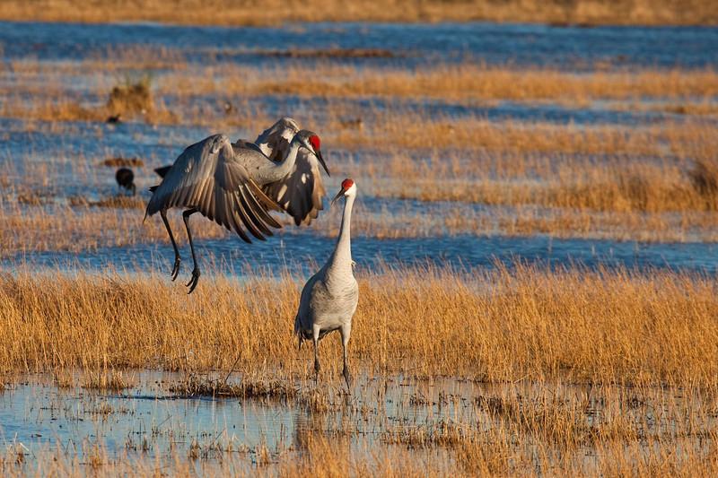 Sandhill crane dancing for her mate
