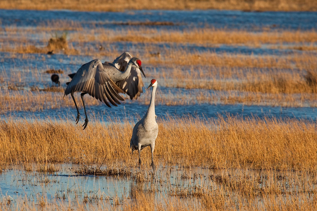 Sandhill crane dancing for her mate