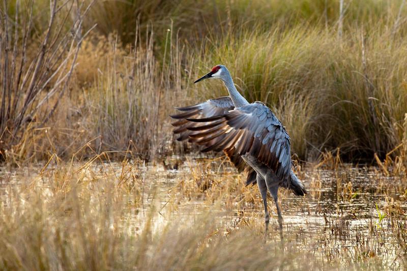 Sandhill crane in mating dance, Woodruff Wildlife Refuge