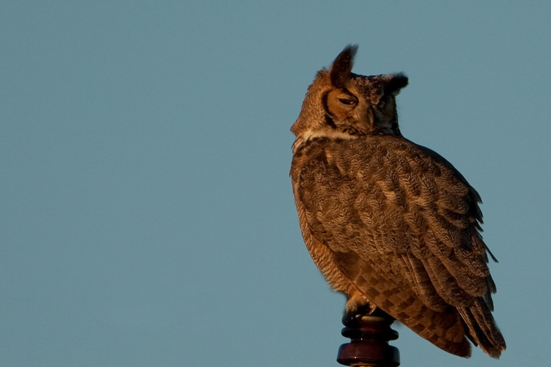 As we were watching the Wood Storks at the end of the day we heard this hoot, hoot, hoot. We spotted this Great Horned Owl sitting on a power pole. This was our first owl captured by our camera.