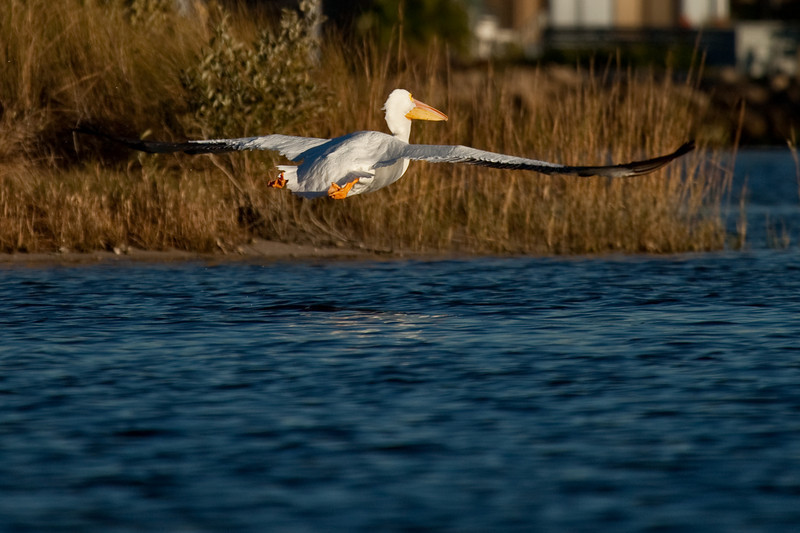 That's an 8-foot wingspan on this beautiful While Pelican.