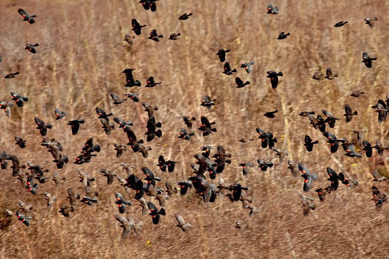 Although the Sandhill Cranes did not come close, the Red-winged Black birds swarmed by in great numbers. The males have the red on their wings and the females are lighter brown.