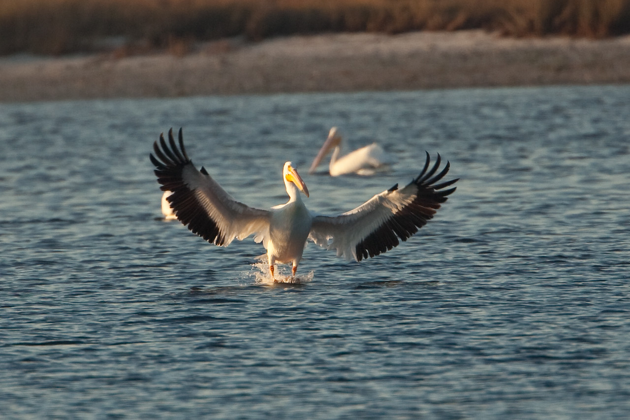When the White Pelicans would see that another pelican had caught a fish they would swoop in to share in the feast. It's a sight to behold watching these birds land on the water.