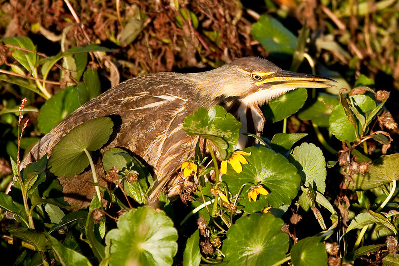 We spotted the recluse American Bittern hiding in the brush at Paynes Prairie just before the sunset.