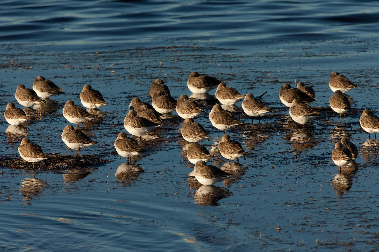 Alongside the Tern was this flock of Sandpipers who were protecting themselves from the wind.